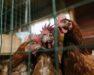 Verlichting pluimveehouderij blog