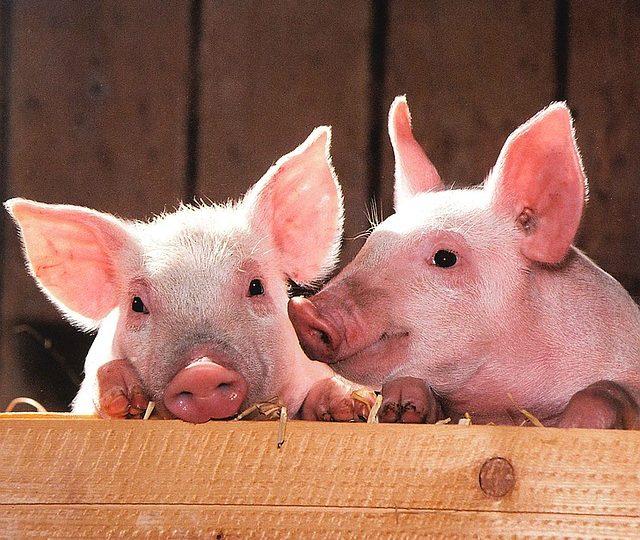 Minder stress voor varkens met LED-verlichting